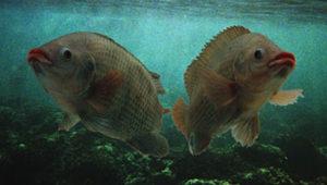 peces-agua-calida