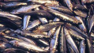 sardina_comun