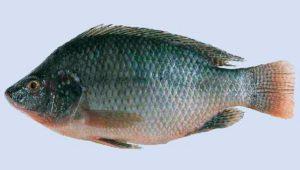 imagen-tilapia