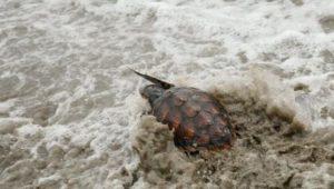 liberan_tortugas