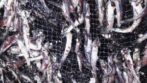 anchoveta amallada