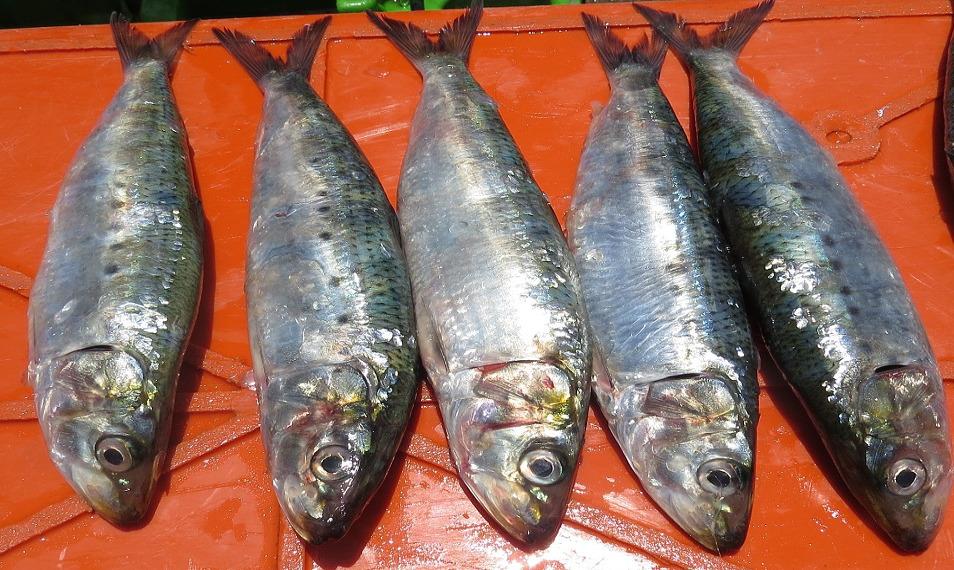 sardina-portada1