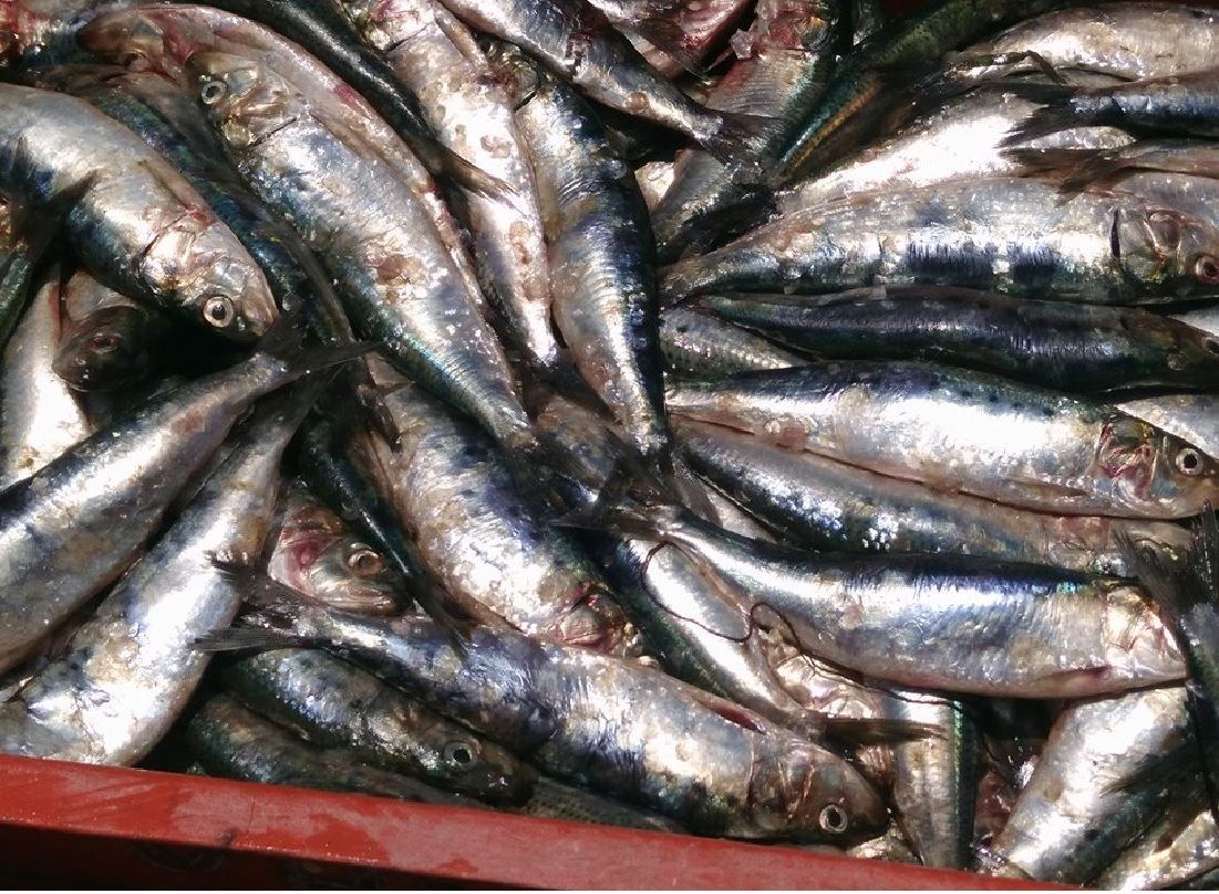 sardina 7