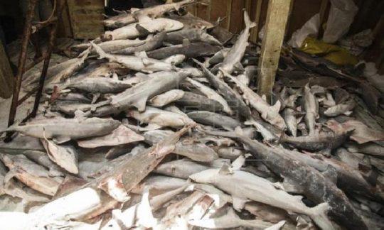 tiburones ilegales