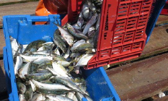 sardina 4