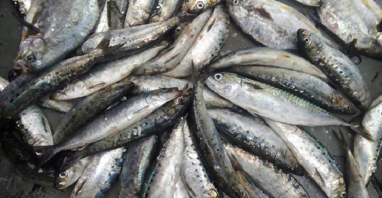 sardina 2018 3 samanco