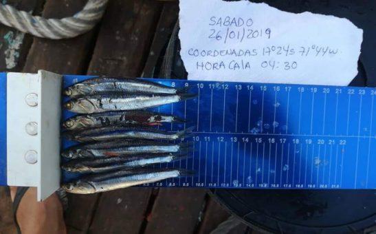 anchoveta peladilla en el sur