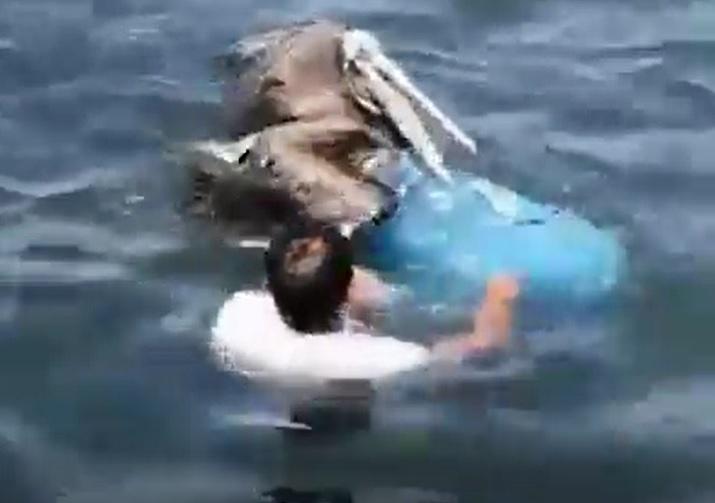 salvando el pelicano atrapado