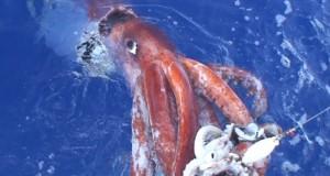 CHILE: Caen las exportaciones de Calamar gigante