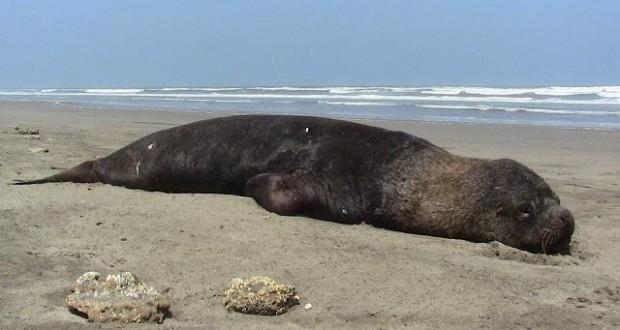 CHIMBOTE: Atribuyen a escasez de Anchoveta muerte de animales marinos