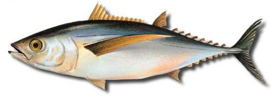 ESPAÑA: La cuota de Atún Blanco podría aumentar en la costera de 2015