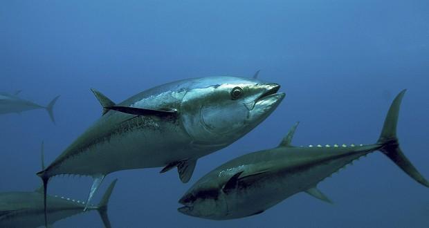 Amplían plazo para la pesca de Atún de cuatro a onces meses al año