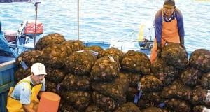 PIURA: Exportación de Concha de abanico en riesgo