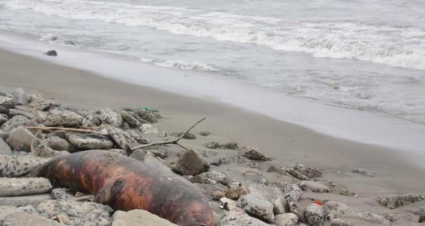 CHIMBOTE – Falta de alimento sería causa de muerte de especies marinas