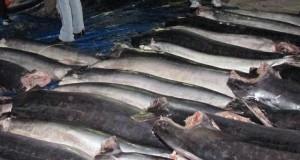 Produce incauta 107 ejemplares de pez Merlín