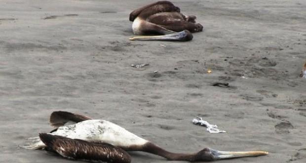 SALAVERRY: Decenas de Pelícanos muertos yacen a orillas del mar