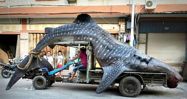 CHINA: Un pescador exhibe su captura, un Tiburón ballena de dos toneladas