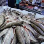 La Trucha, el pez que fue traído al Perú y criado por mineros