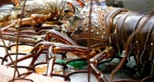 Langostino y Conchas de abanico impulsan crecimiento de exportaciones acuícolas