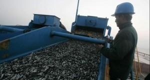 Producción de Harina de pescado caería hasta en 40%