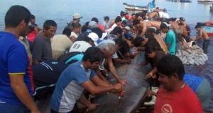 PIURA – Cortan carne de Ballena varada en el Puerto de Paita