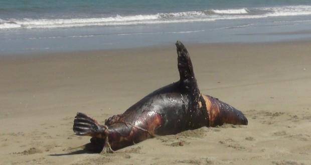 CHIMBOTE – 20 Lobos marinos fueron envenenados