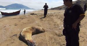 Especialistas de Imarpe investigan muerte de Lobos marinos en Chimbote