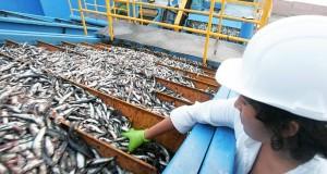 MEF espera crecimiento de hasta 40% en pesca de Anchoveta en Perú