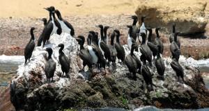 Con actividades académicas y turísticas celebrarán 40 aniversario de Reserva Nacional de Paracas