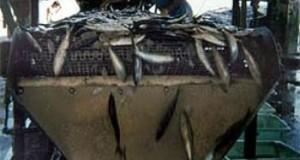 BRASIL – ONG alerta sobre falta de monitoreo de la Pesca de Sardina