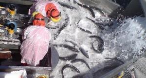CHILE – Cosechas de Salmón Atlántico caen en un 28,6%