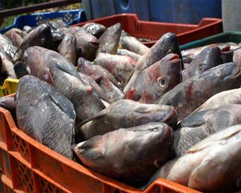 Fuerte incremento registran exportaciones de Tilapia