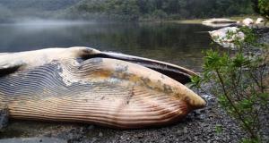 CHILE – Sernapesca denuncia varamiento masivo de ballenas en el Golfo de Penas