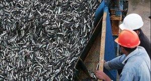 Acuerdan suspender por cinco días la pesca de Anchoveta
