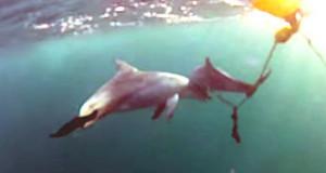 BARCELONA – Una hembra de Delfín trata de salvar a su cría de una trampa para tiburones