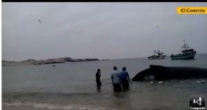 Ballenas avistadas, varadas y atrapadas en redes recientemente