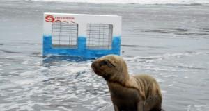 CHILE – Lobos marinos rescatados por Sernapesca fueron reinsertados en Chiloé
