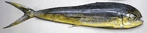 Produce autorizó pesca exploratoria de Perico desde mañana hasta el 30 de septiembre