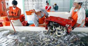 Pesca de Anchoveta se reduciría a la mitad el 2016 si El Niño es fuerte o extraordinario