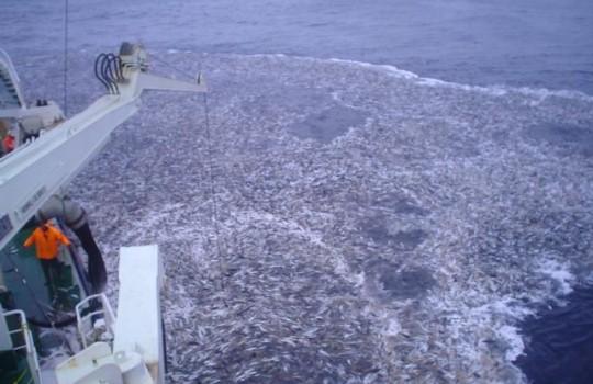 CHILE – Calculan en 25% la probabilidad de colapso de la pesca del Jurel