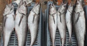 CHILE – Pescado ícono amenazado por sobreexplotación y pesca ilegal
