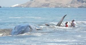 CHILE – Ballena fue devuelta al Mar por armada y turistas tras varar en playa de Iquique