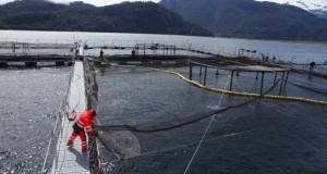 CHILE – Gobierno propone que cada empresa reduzca su producción de salmónidos