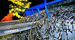 Produce realizará pesca experimental para evaluar situación de Anchoveta destinada al Consumo Humano Directo