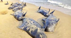 INDIA – Hallan cerca de 100 ballenas varadas