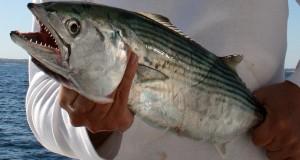 Pesca de Bonito alcanzó cifra histórica