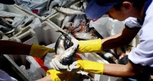 Cuota de primera temporada de Pesca será mayor que la de 2015