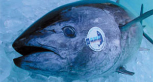 JAPÓN – Crece el interés en el cultivo de Atún rojo