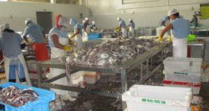"""SNI: """"Se desembarca 6 millones de Anchoveta al año para harina y el consumo humano excluido"""""""