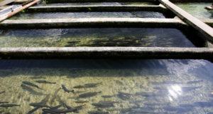 Los peces de piscifactorías son sordos